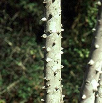 Prickly Ash can stop Tooth Abscess Pain