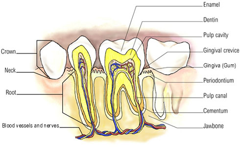 Tooth Anatomy, Teeth Anatomy